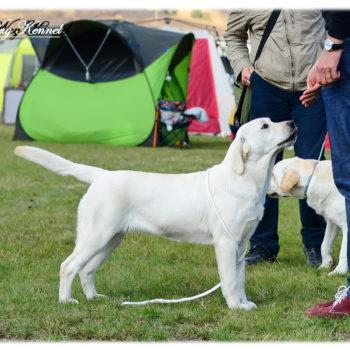 08.10.2016 RONA- Romania RETRIEVR CLUB Turda - Puppy class - VP I, Best Puppy (judge Bruno Facq (FR))